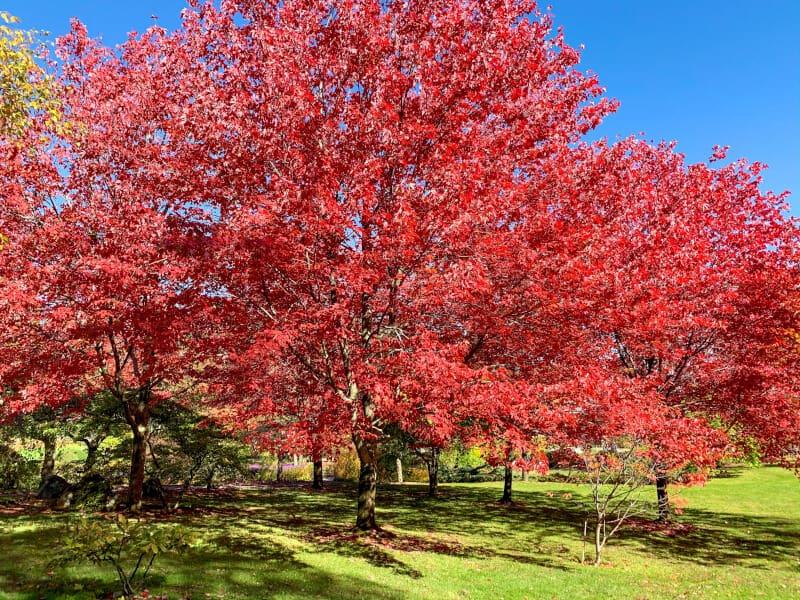 Multiple maple trees