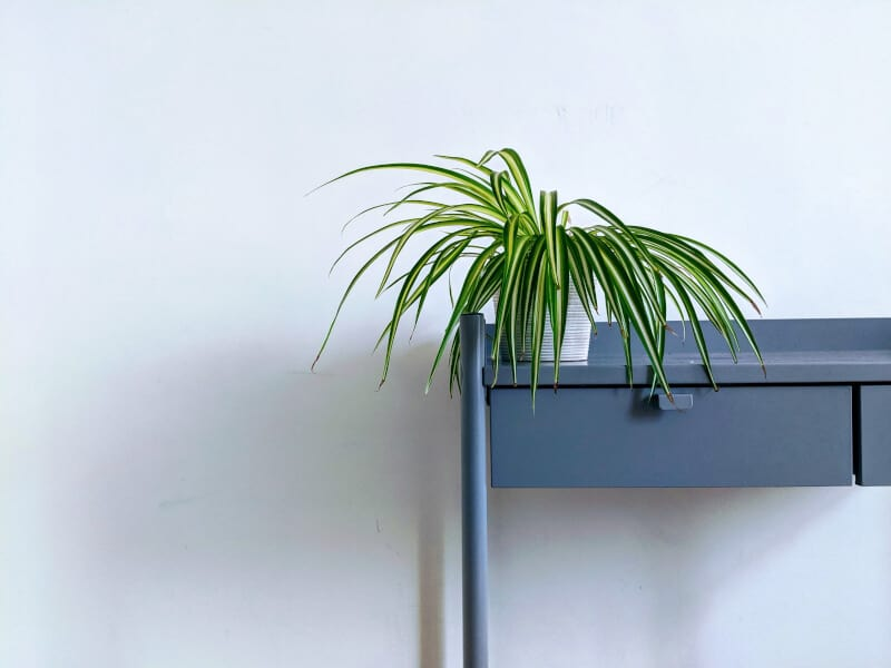 Spider plant in a pot
