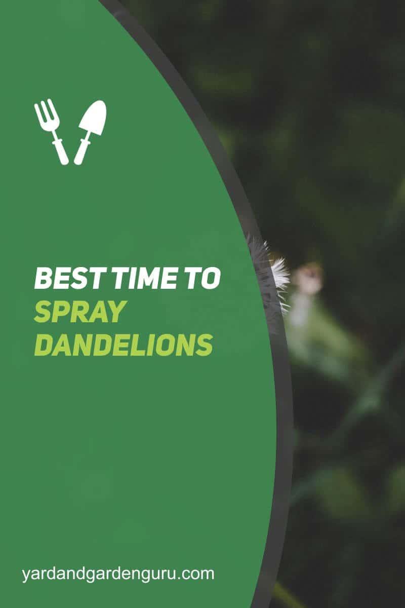 Best Time To Spray Dandelions