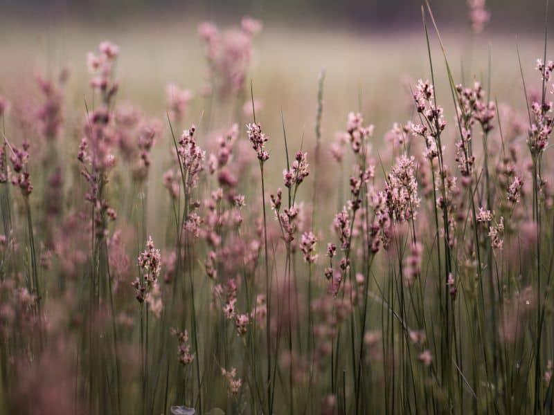 Pink weeds