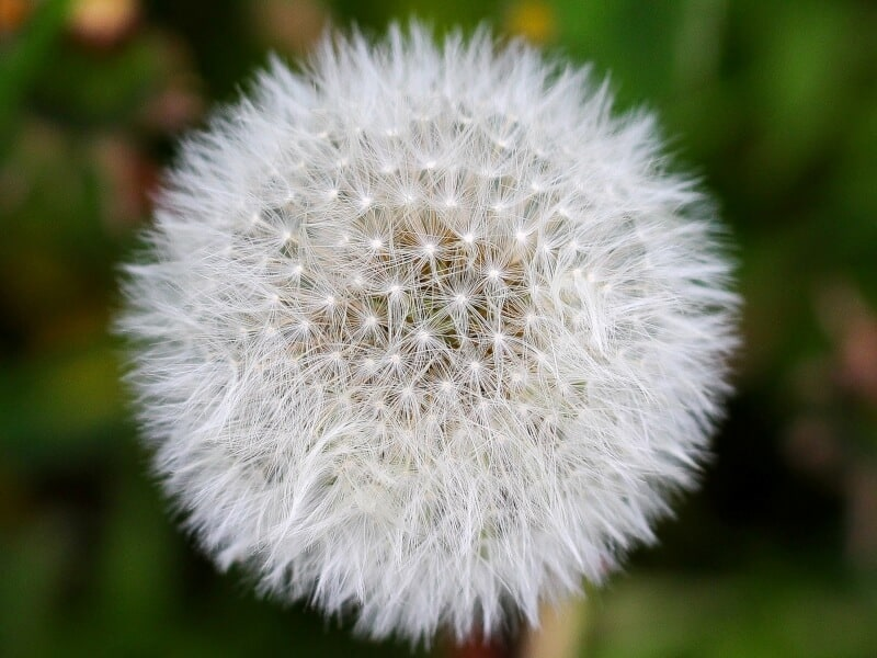 Zoom in view of a dandelion