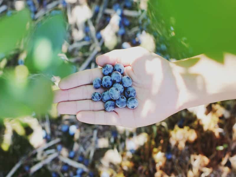 Blueberries on the palm