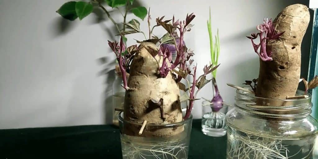Guide to Growing Potatoes Indoors