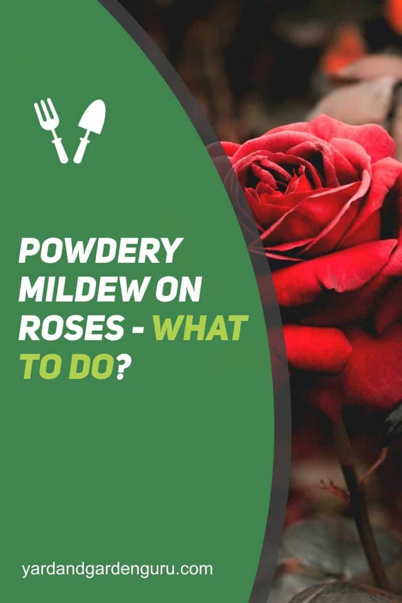 Powdery Mildew On Roses - What to Do (2)