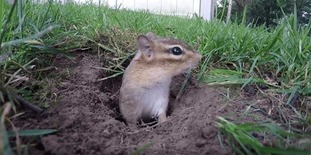 How To Seal A Chipmunk Hole