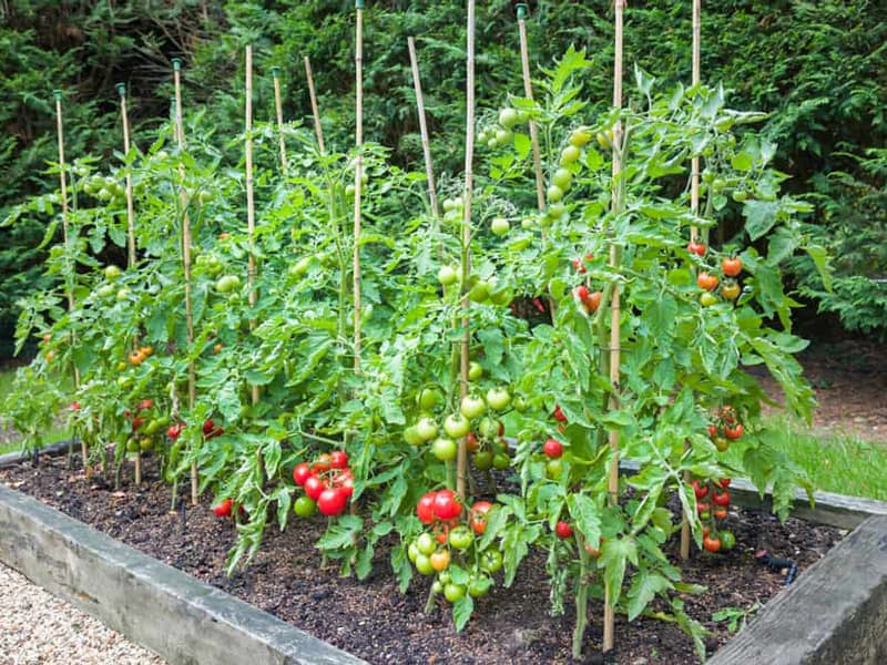 Plant Tomatoes in a Raised Bed Tips