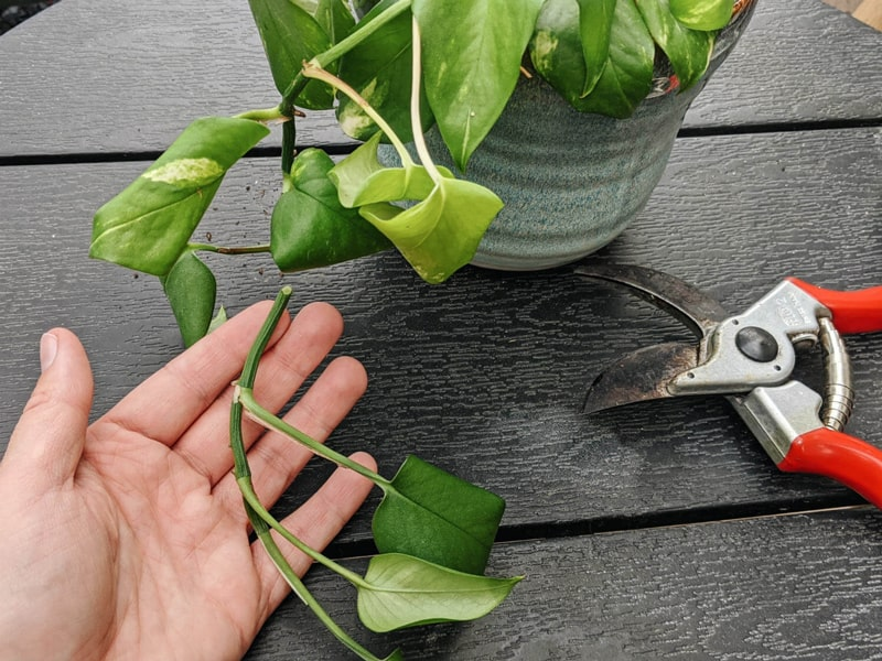 Propagate Pothos From a Leaf