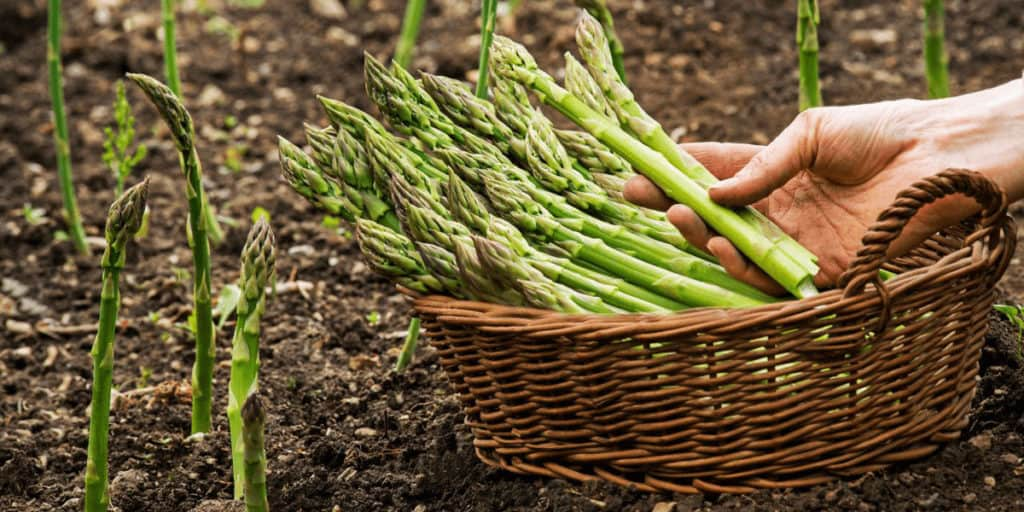 Quick Guide To Growing Asparagus In Raised Beds