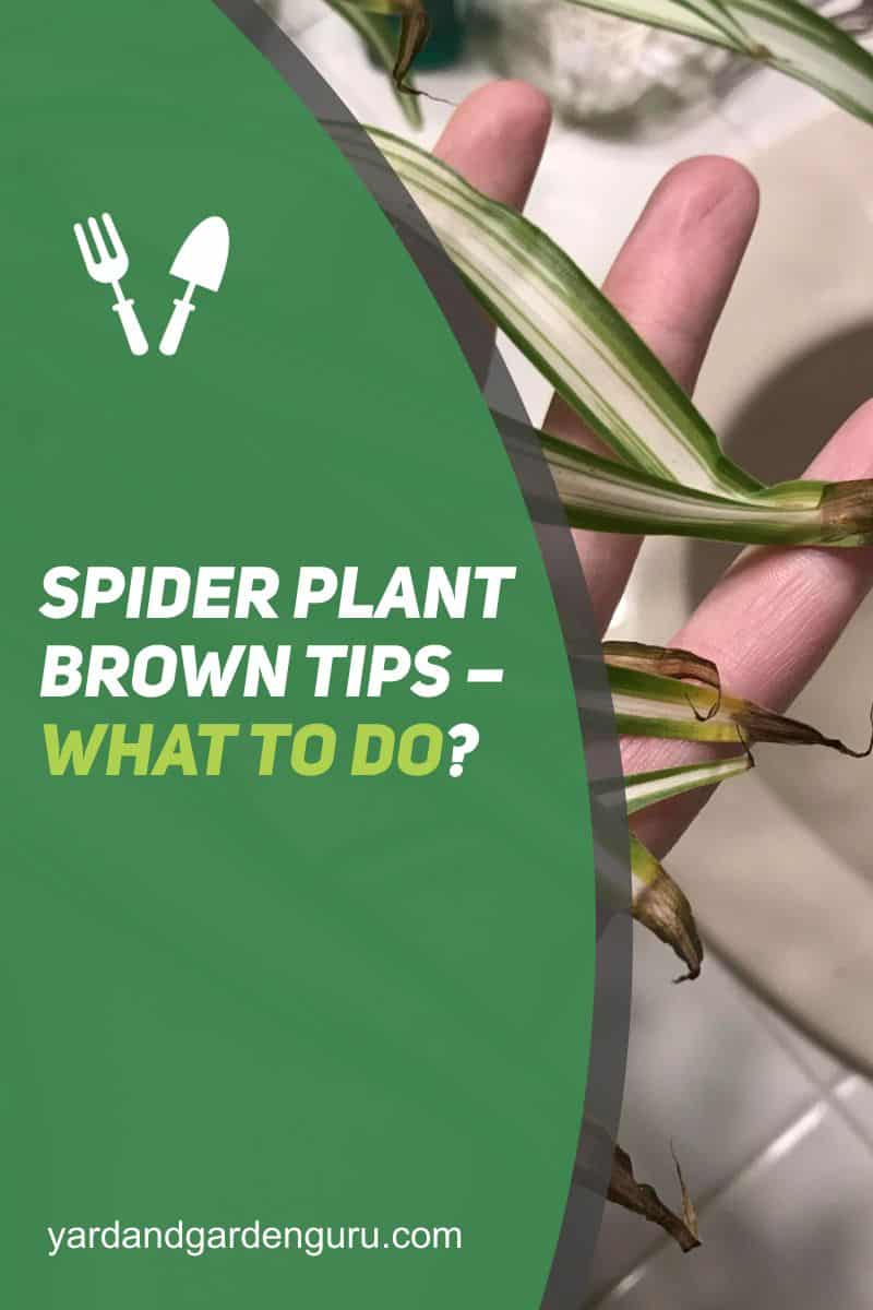 Spider Plant Brown Tips – What to Do