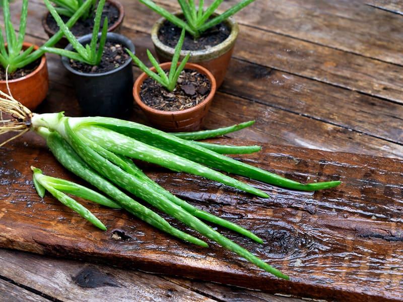 Tips on propagating aloe vera plant