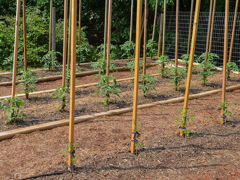 Tomato plant spacing for the best growth